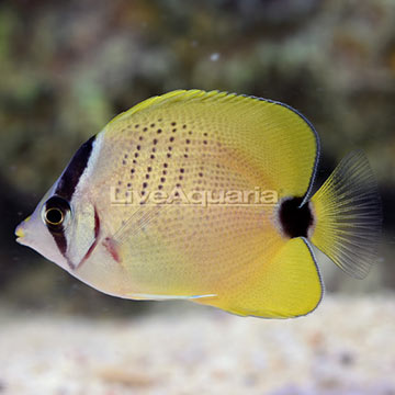 Biota Captive-Bred Milletseed Butterflyfish