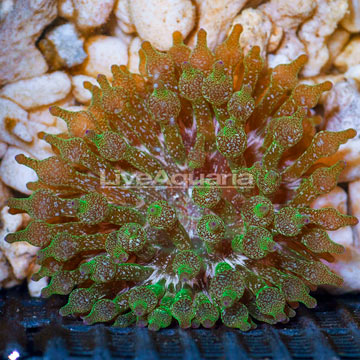 Bubble Tip Anemone Green Speckled