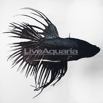 Black Orchid Crowntail Betta [Blemish]