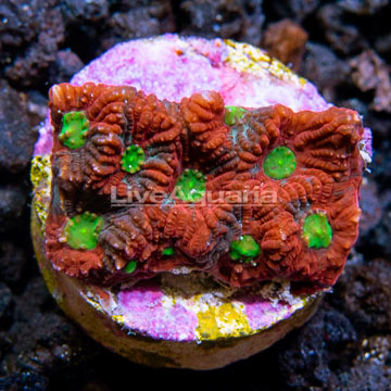 LiveAquaria® Bright Red and Green War Coral