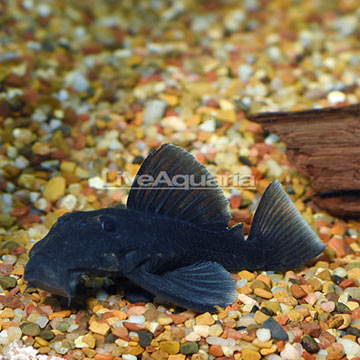 Blue Panaque (L-239) Plecostomus