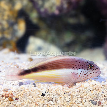 Freckle Face Hawkfish