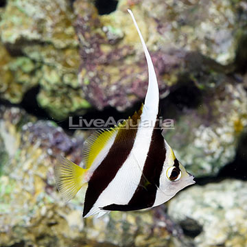 Heniochus Black and White Butterflyfish