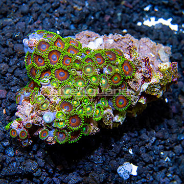 Wham'n Watermelon and Green Bay Packers Colony Polyp Rock Zoanthus Indonesia IM