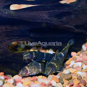 Microsynodontis Batesi Catfish (Group of 3)