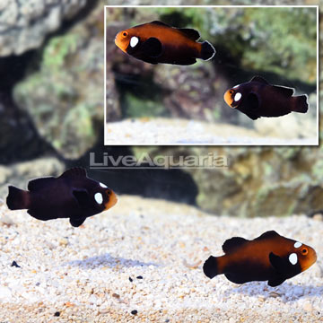 Sanjay Black Photon F2 Naked with Dots Clownfish (Bonded Pair)
