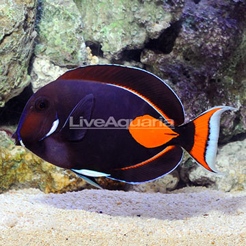 Achilles Tang Adult EXPERT ONLY