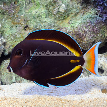 Achilles White Cheek Tang Hybrid EXPERT ONLY