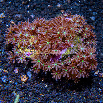 Clove Polyp Rock Indonesia