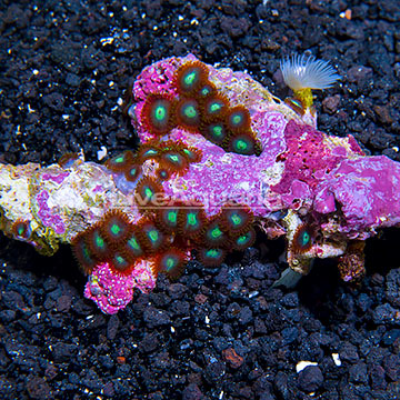 Aussie GI Joe Colony Polyp Rock Zoanthus IM