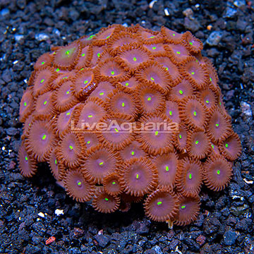 Red People Eater Colony Polyp Rock Zoanthus Indonesia IM