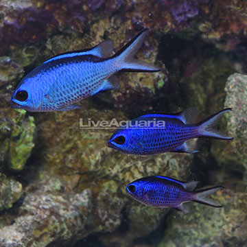 Caribbean Blue Reef Chromis (Trio)