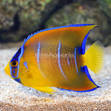 Caribbean Queen Angelfish Transitioning