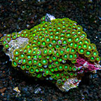 Radioactive Dragon Eye Colony Polyp Rock Zoanthus Tonga IM (click for more detail)