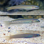 Green Silk Gudgeon Goby (Trio) (click for more detail)