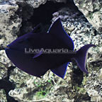 Niger Triggerfish (click for more detail)