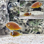 ORA® Captive-Bred White Bonnet Clownfish (Select pair) (click for more detail)