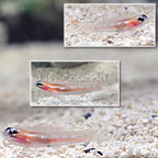 ORA® Masked Goby Trio (click for more detail)