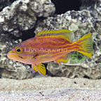 Polleni Grouper  (click for more detail)
