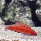 Filamented Flasher Wrasse Terminal Phase Male (click for more detail)