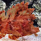 Eschmeyer's Scorpionfish (click for more detail)
