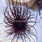 Tube Anemone Purple (click for more detail)