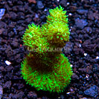 ORA® Marshall Island Green Hydnophora Coral (click for more detail)