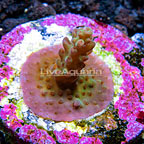 USA Cultured Ultra Acropora Coral (click for more detail)