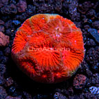 USA Cultured Forest Fire Favia Coral (click for more detail)