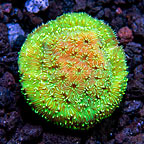 USA Cultured Stray Voltage Pavona Coral (click for more detail)