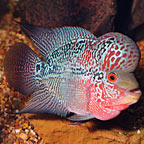 Premium Cherry Hump Head Flowerhorn Cichlid  (click for more detail)