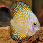 Gold Pigeon Blood Discus (click for more detail)