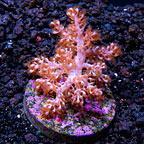 USA Cultured Kenya Tree Coral (click for more detail)