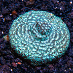 USA Cultured Ultra Leptoseris Coral (click for more detail)