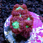 USA Cultured Red Blastomussa Coral (click for more detail)