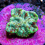 USA Cultured Micro Favia Coral (click for more detail)