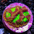 USA Cultured Ultra Goniastrea Coral (click for more detail)