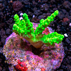 Biota Cultured Alien Hand Neon Green Finger Leather Coral (click for more detail)