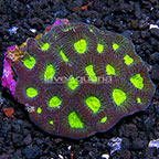 Goniastrea Brain Coral Tonga (click for more detail)