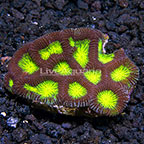 Favia Brain Coral Tonga (click for more detail)
