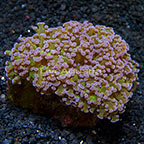 Aussie Frogspawn Coral (click for more detail)