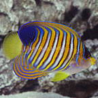 Regal Angelfish Adult (click for more detail)