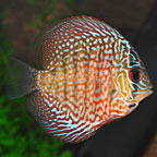 Red Snakeskin Discus (click for more detail)