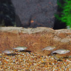 Turquoise Rainbowfish (Group of 5) (click for more detail)