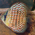 Red Leopard Discus (click for more detail)
