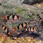 Clown Loach (Group of 5) (click for more detail)