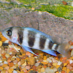 Frontosa Cichlid (click for more detail)