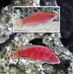 Eightline Flasher Wrasse (Pair) (click for more detail)