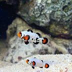 ORA® Captive-Bred Frostbite Ocellaris Clownfish (Bonded Pair) (click for more detail)