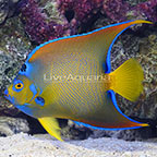 Caribbean Queen Angelfish Adult (click for more detail)